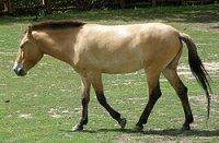 zTaki-Przewalski_horse_Warsaw_zoo.jpg