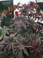 260px-Ricinus_comm_leaves.jpg