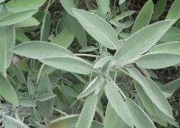 Salvia officinalis Orvosi zsálya.jpg