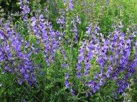 Salvia-pratensis-1.jpg