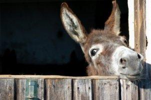depositphotos_4587365-stock-photo-funny-donkey.jpg