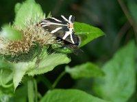 Pillangó.jpg