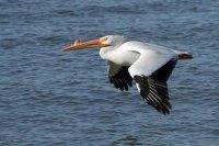 pelikán.jpg