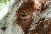 goat-408649_640.jpg