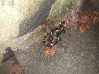 Salamandra 5.JPG