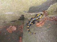 Salamandra 2.JPG