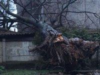 50 éves fa.jpg