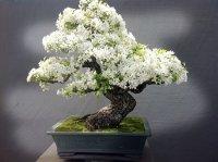 zbonsai-trees-5-1-5710e79582acc.jpg