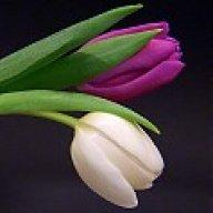 tulipan_hajnal