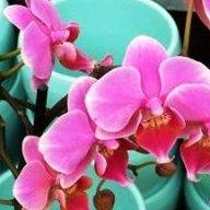 Orchidea65