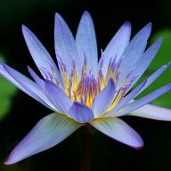 waterlily21