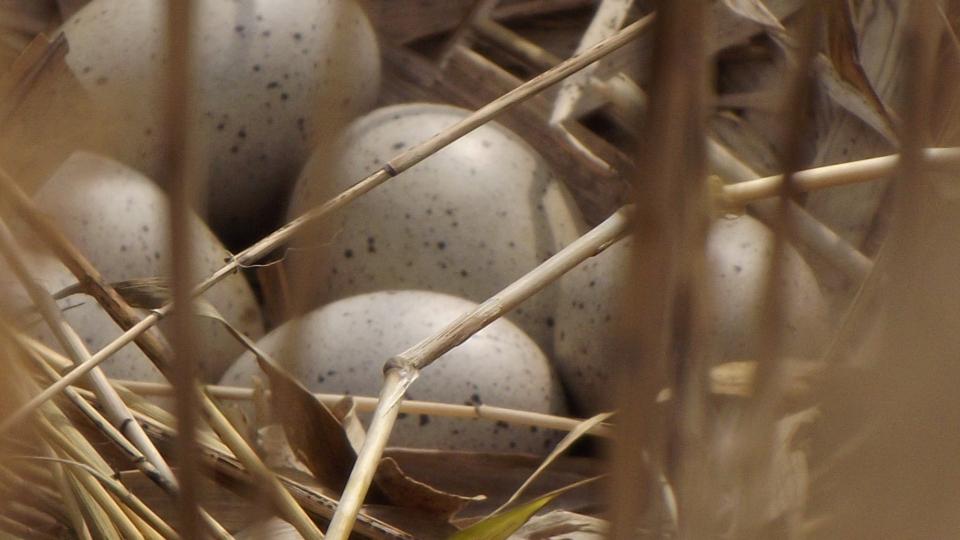Szárcsa  tojása,   Ifjú szárcsa csibék